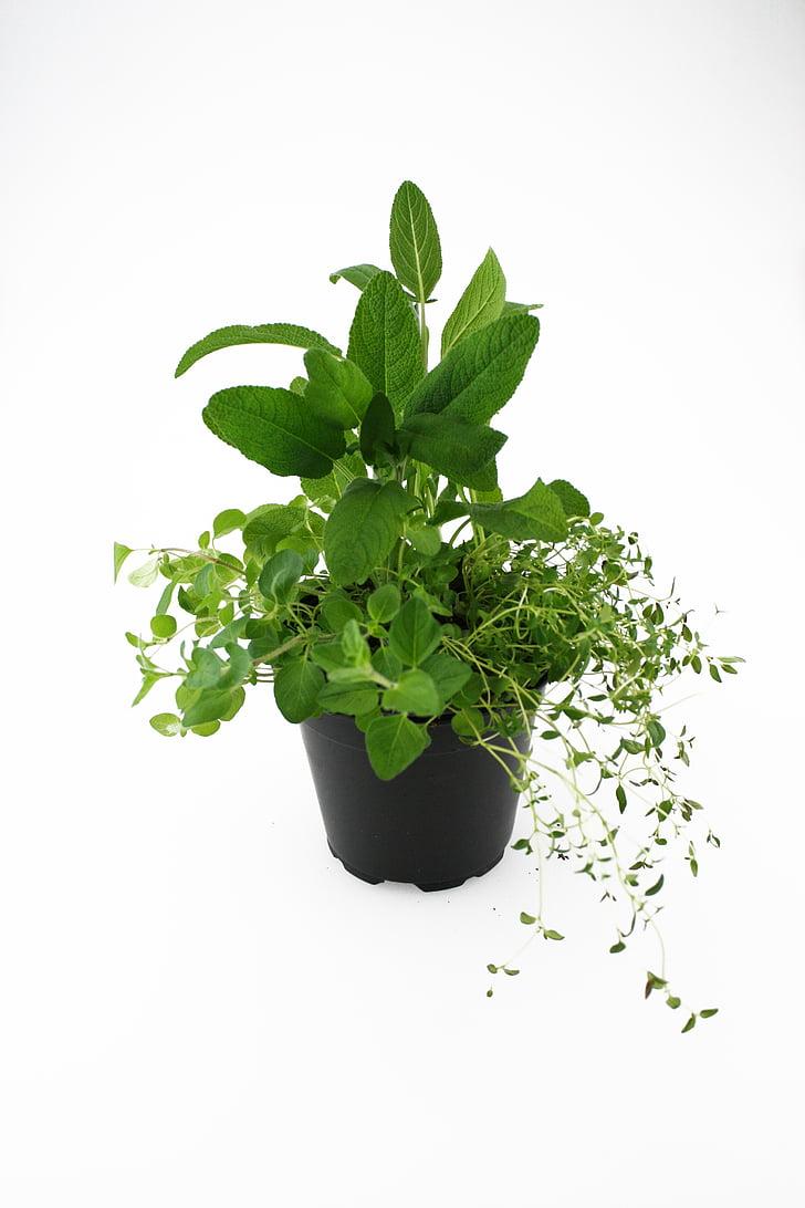 herbes, orenga, farigola, Sàlvia, fulla, color verd, planta