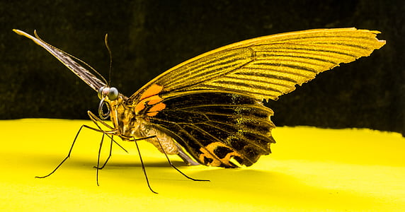 vlinder, insect, natuur, vlinder - insecten, dier, dierlijke vleugel, geel