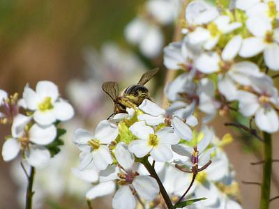 flor, abella, Libar, pol·len, ravenissa, Jaramago
