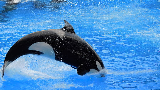 orca, killer whale, show, orca jump, splash, wild, animal