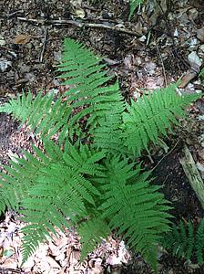papraď, rastlín, Zelená, Príroda, fiddlehead, Lesné huby, Forest