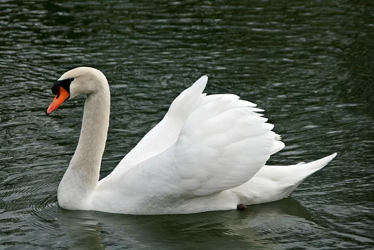 лебед, лебеди, вода птица, двойно коляно, езеро, птица, вода