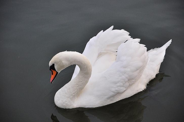 лебед, птица, вода, лебеди, езеро, Бийл