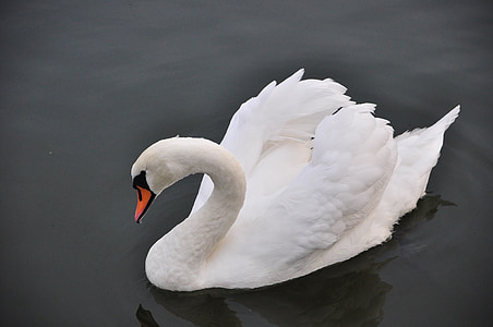 swan, bird, water, swans, lake, biel