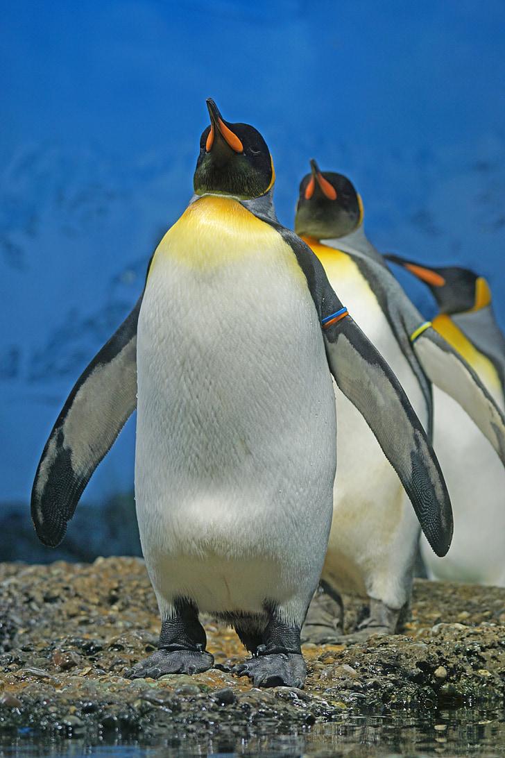 king penguin, penguin, beaks, penguin band, bird, water bird, group