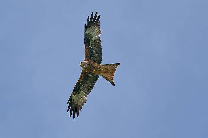 punainen leija, petolintu, lentää, Raptor, lintu, taivas, metsästys
