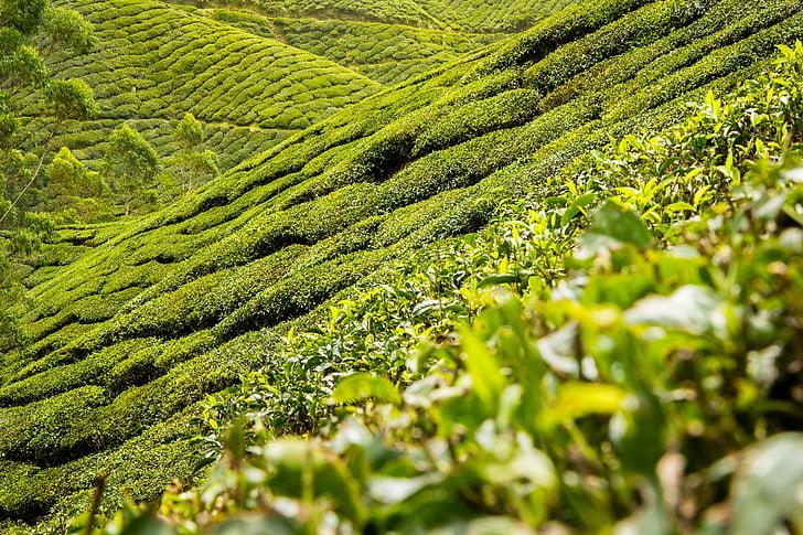 čaj lišća, čaj, plantaža, brda, krajolik, plantaža čaja, crni čaj