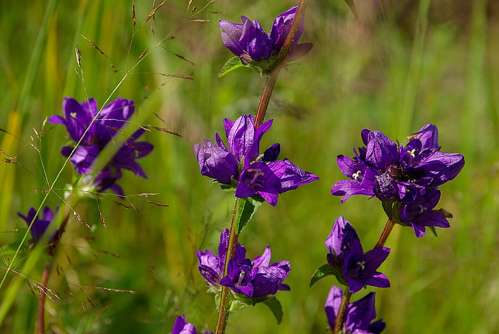flors, violeta, natura