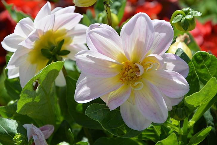 gėlės, masinis, masyvas, sodas, Gamta, pavasarį, augalų, violetinė
