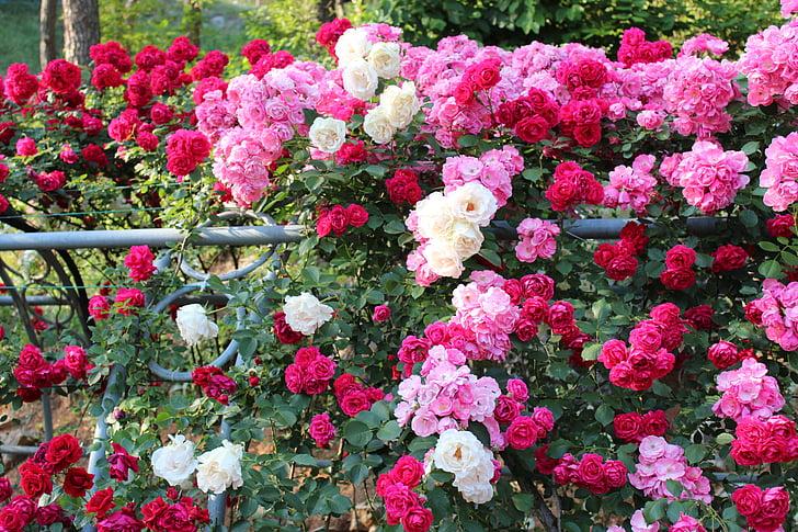 กุหลาบ, เทศกาลดอกกุหลาบ, เทศกาล, ดอกไม้, กลิ่นหอม