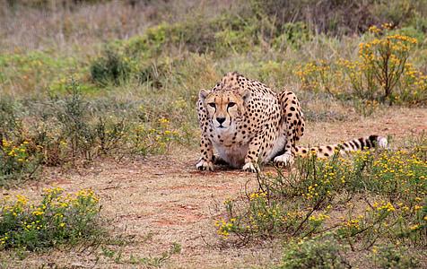 cheetah, predator, wild animal, animal world, animal, wildlife, cat