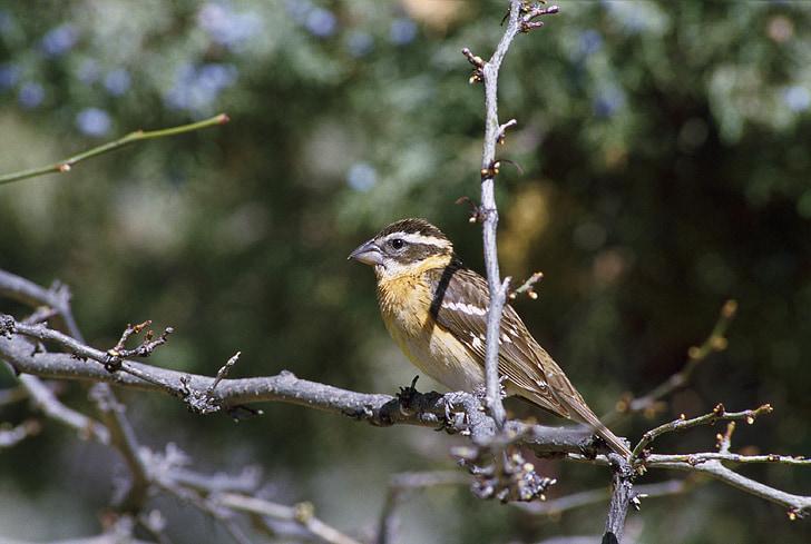 limb, tree, perched, bird, headed, black, grosbeak