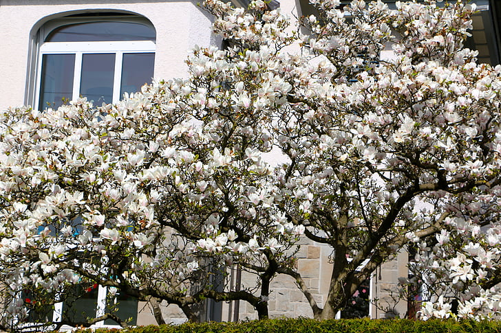 window, about, tree, magnolia, flowers