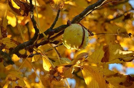 kastan, puu, Sügis, lehed, kollane, loodus, valgus