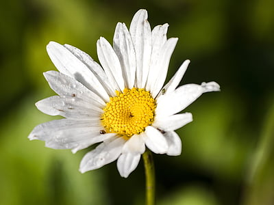 Margarida, flor, flor, flor, planta, natura, Margarida