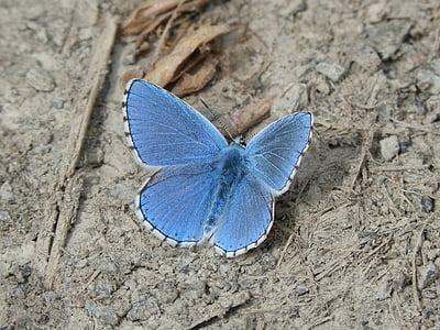 tauriņš, Blue butterfly, farigola blaveta, Pseudophilotes panoptes, zila, vienam dzīvniekam, tuvplāns