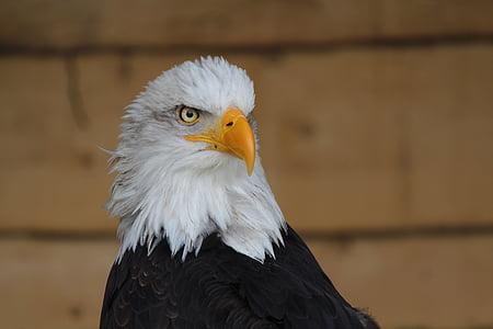 Адлер, птица, ящер, Белоголовый орлан, орел - птица, Хищная птица, Дикая природа