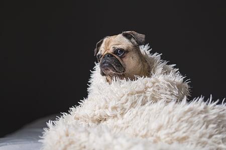 adorabil, animale, rasa, canin, drăguţ, câine, piaţa internă