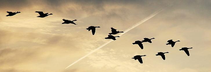 небе, облаците, гъски, нелетящи гъски, покрити небе, небето, птици