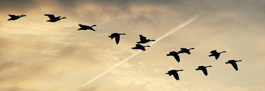 sky, clouds, geese, flightless geese, covered sky, the sky, birds