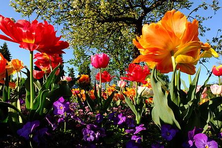tulbid, lilled, Tulip mere, Meri lilled, blütenmeer, kollane, kevadel