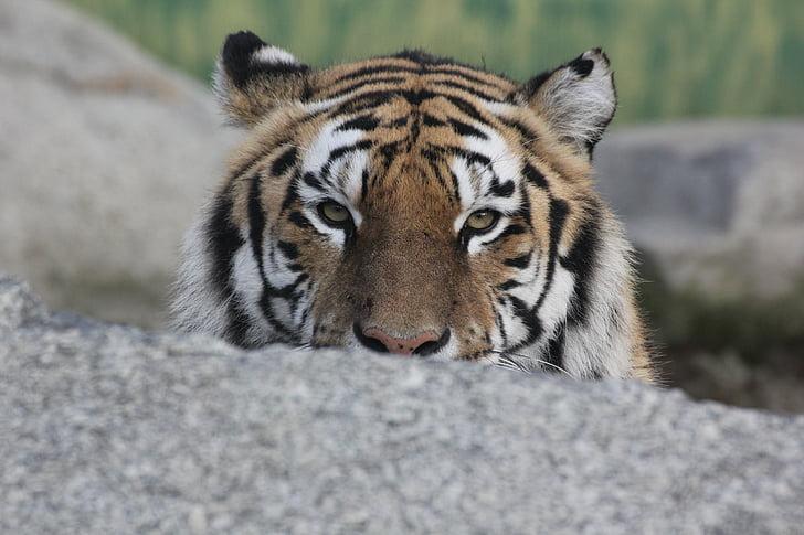 tigre, animal, relaxació, resta, cop d'ull