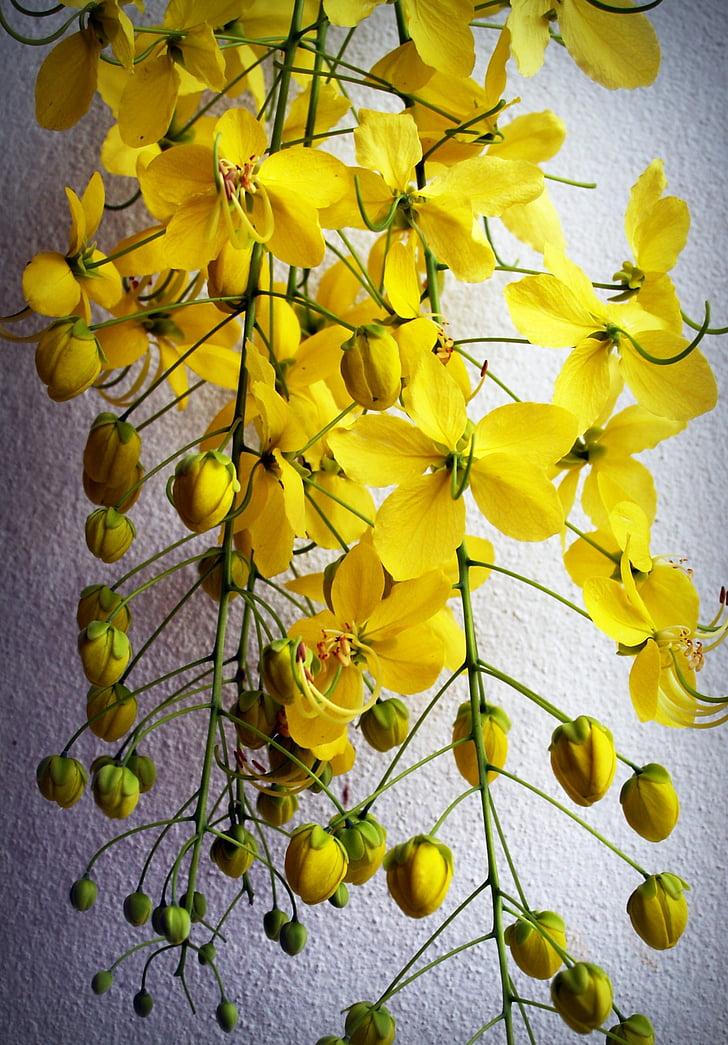Cassia, dušas, zelta, koks, balta, vasaras, zieds