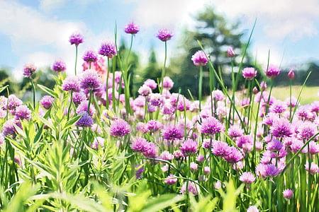 cebollino, floración, púrpura, flores, hierba, jardín, planta