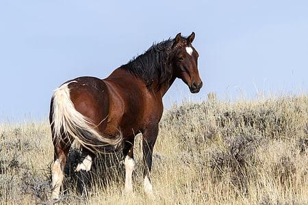 cavalls salvatges, mustangs salvatges, Mustangs, cavalls, cavalls salvatges americans