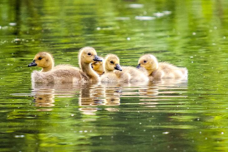 ガチョウ, 雛, カナダのガチョウ, 自然, 鳥, 水鳥, 動物