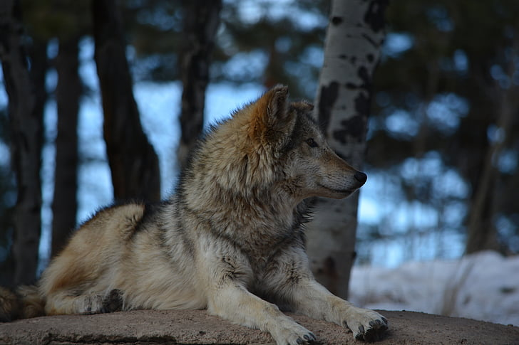 wolf, outside, white, brown, gray, snow, trees