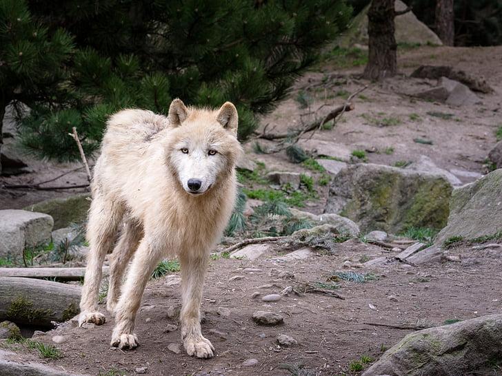 wolf, animal, predator, wolves, nature, wildlife park, pack animal
