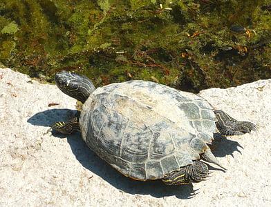 želva, vode želva, želve, živali