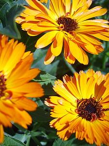 Medetkų, oranžinė, gėlės, Gamta, geltona, gėlė, vasaros