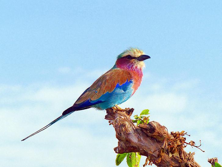 corró pit lila, ocells, Àfrica, Kenya, pit lila, colors, natura