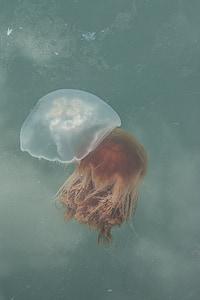 Meduza, oceana, more, život, marinac