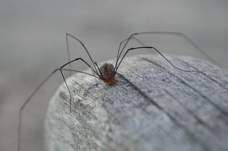 spider, granddaddy longlegs, invertebrate, arachnida, harvestmen, creature, creepy