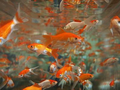 Zlatna ribica, akvarij, pod vodom, tropska, ljubimac, plivati, spremnik