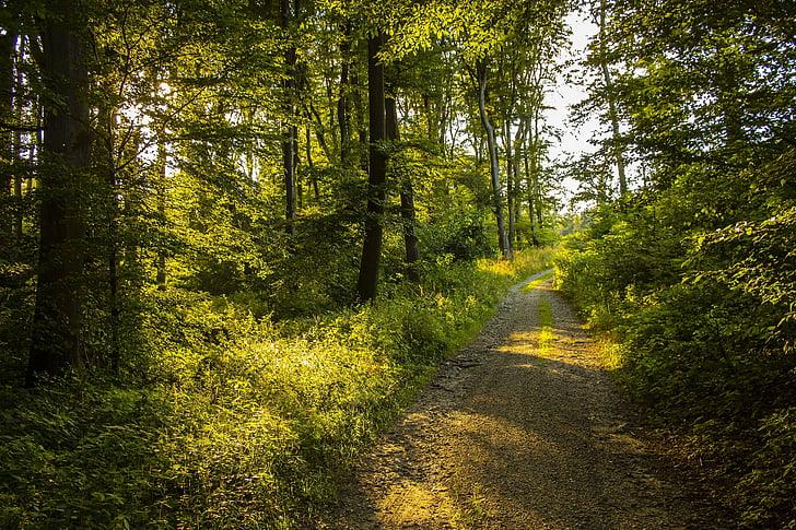 naturen, sommar, skogen, träd, skogsväg, grön, solen