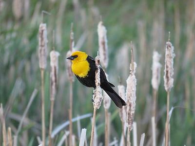 mannlige gul-ledet blackbird, Blackbird, Marsh fugl, fuglen, gul ledet-, natur, Songbird