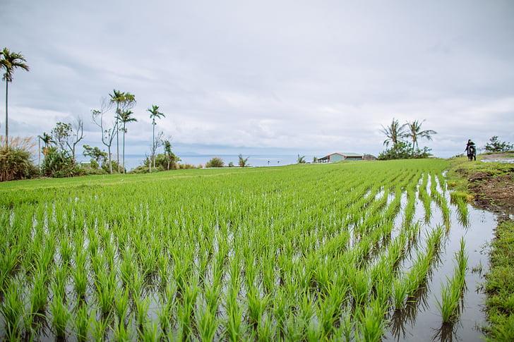 field, in rice field, seedlings