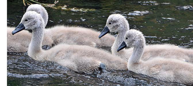 животни, младите, вода птица, младите животни, лебед, лебеди