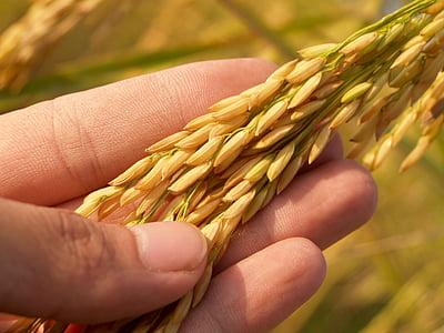 põllumajandus, Aasia, Sügis, botaanika, teravilja, põllukultuuride, õhtusöök