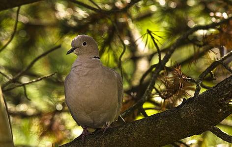 Dove, golierom, vták, mesto holuby, Záhrada, Príroda, zviera