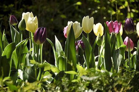 лалета, цветни, Пролет, лале, природата, Пролет, цвете