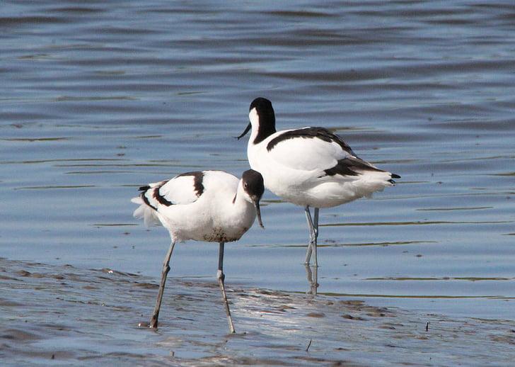 Avocet, recurvirostra avosetta, seevogel, ват птица, вода птица, птица, птици