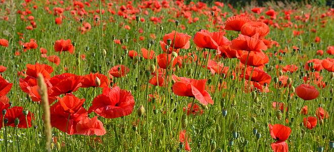 poppy, red poppy, poppy flower, blossom, bloom, field of poppies, flower
