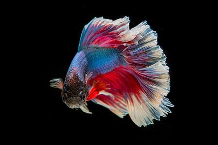 peix lluitador, peix, tres colors, Batalla, peix de Tailàndia, pel. lícula, fons negre