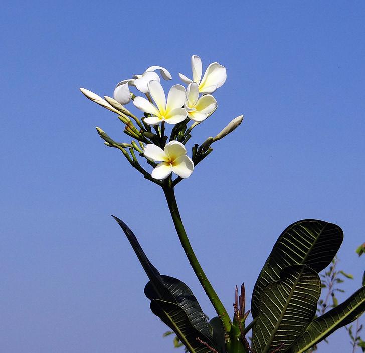 Plumeria, hvid frangipani, blomst, Tropical, hubli, Indien