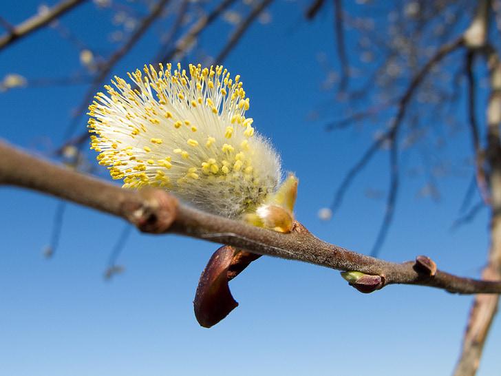 maňúsky, se on, taivas, kevään, puu, haara, finesse